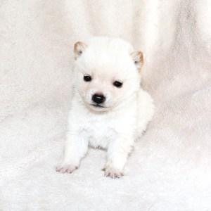 極小豆柴母犬 ヤヨイちゃんの子b