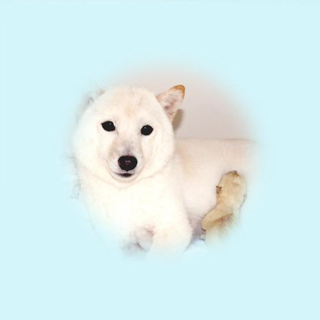 極小豆柴母犬 チヅルちゃん