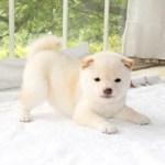 極小豆柴母犬 ビオラちゃんの子