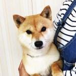 赤 豆柴成犬