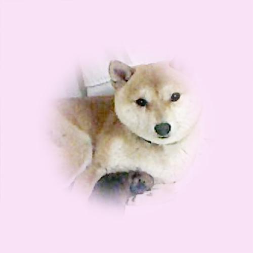 極小豆柴母犬 ミキちゃん