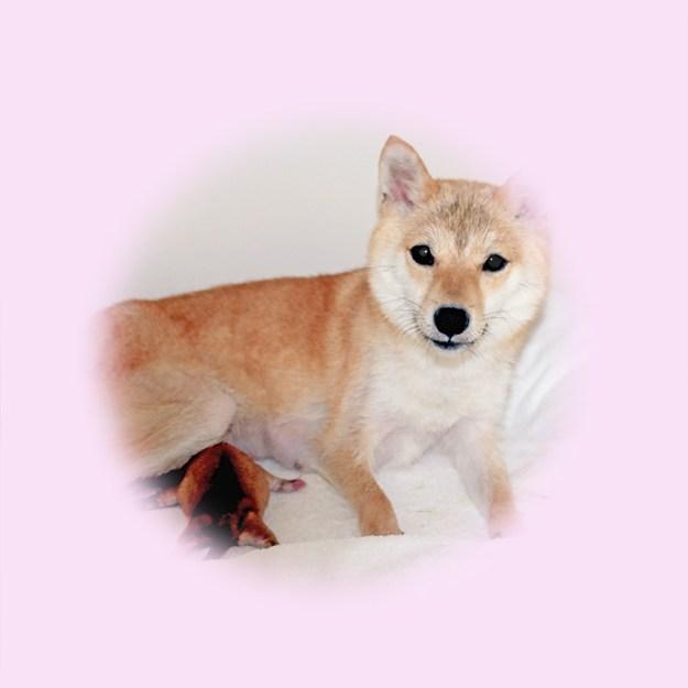 極小豆柴母犬 たまきちゃん