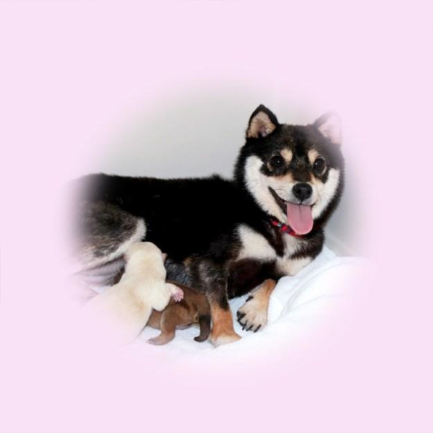 極小豆柴母犬 クララちゃん