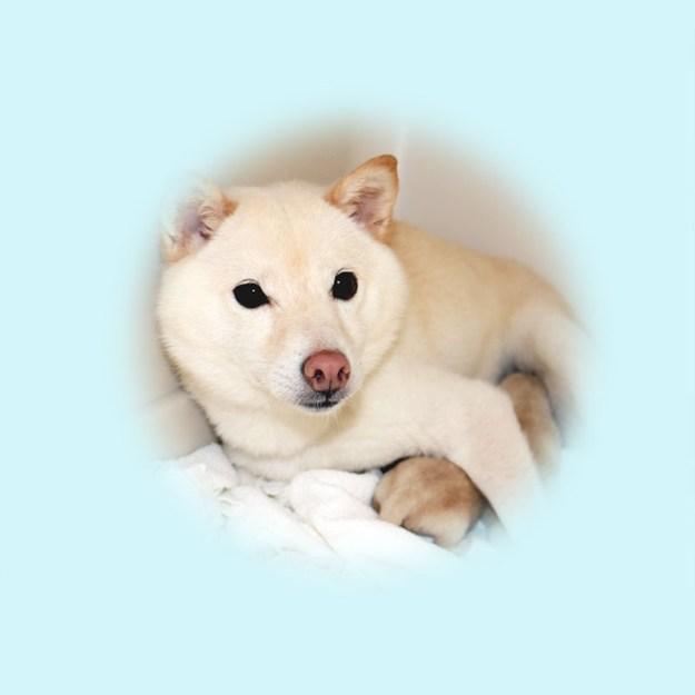 極小豆柴母犬 おもちちゃん