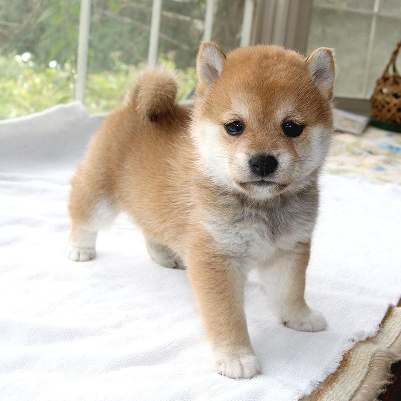 極小豆柴母犬 ミルキィちゃんの子b