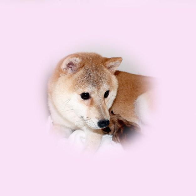 極小豆柴母犬 コトちゃん