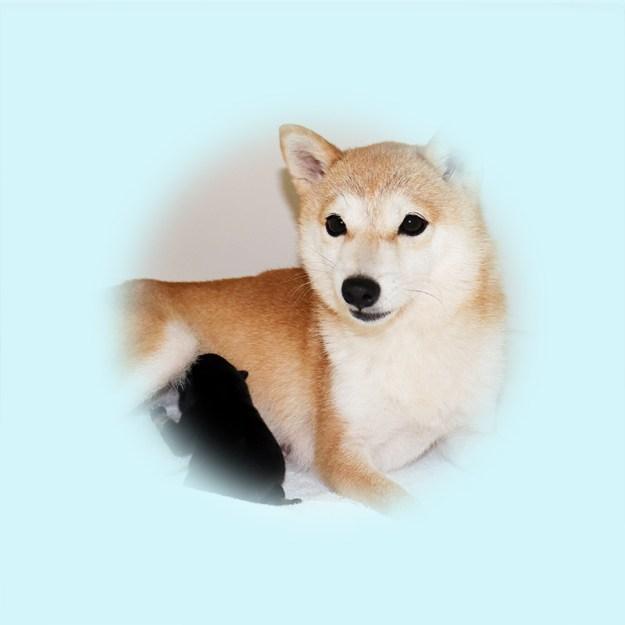 極小豆柴母犬 チャイちゃん