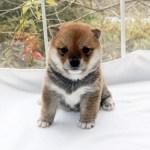豆柴母犬 キリちゃんの子b