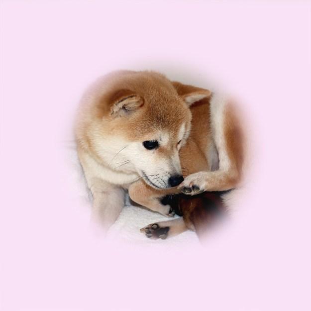 極小豆柴母犬 メイちゃん