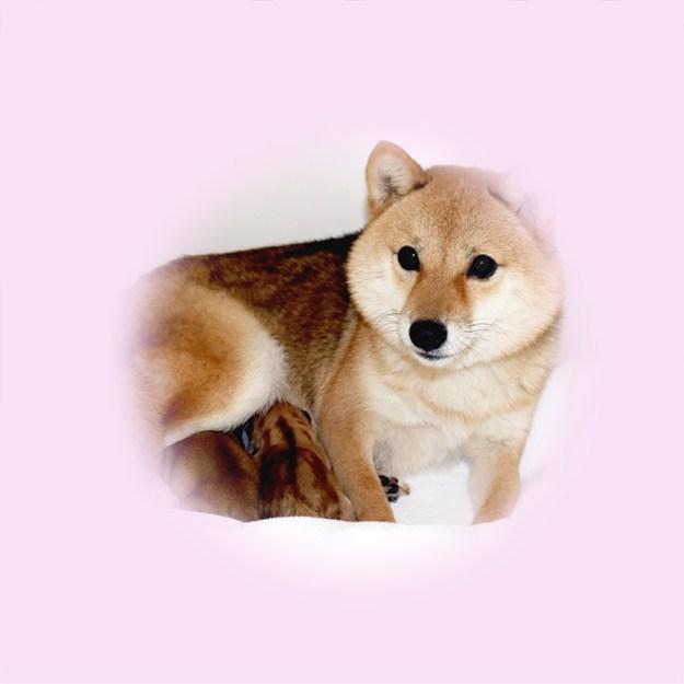 極小豆柴母犬 アロハちゃん