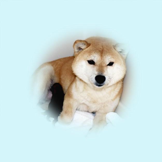 極小豆柴母犬 ススキちゃん