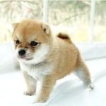 小豆柴母犬 エナちゃんの子b