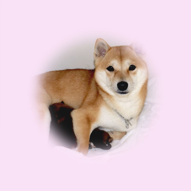 極小豆柴母犬 せんちゃん