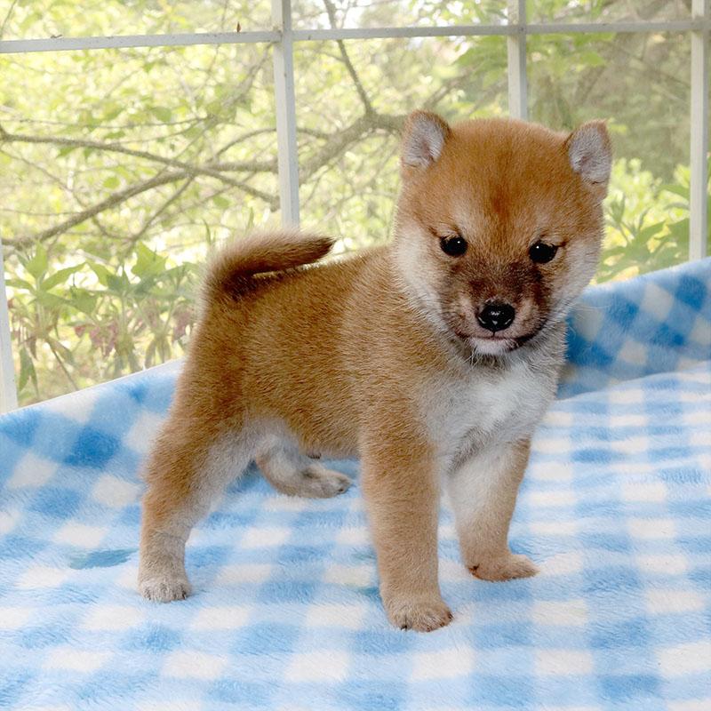 極小豆柴母犬 アコちゃんa