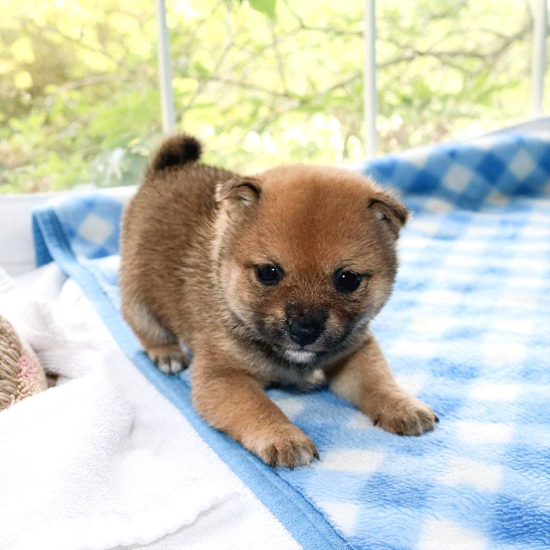 極小豆柴母犬 アルトちゃんの子b