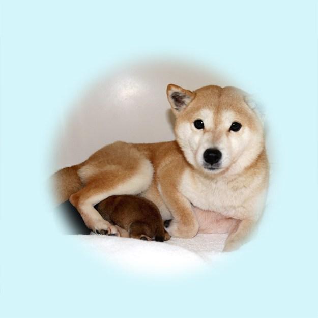 極小豆柴母犬 マホロちゃん
