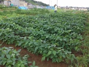 7月19日の大豆畑の様子
