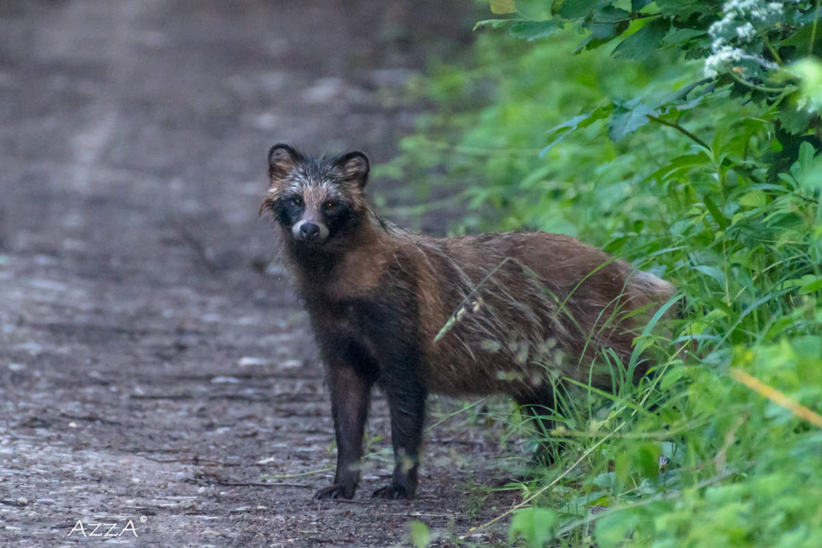 The Raccoon Dog Definitely Not For Christmas Says The