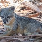 island_fox-1
