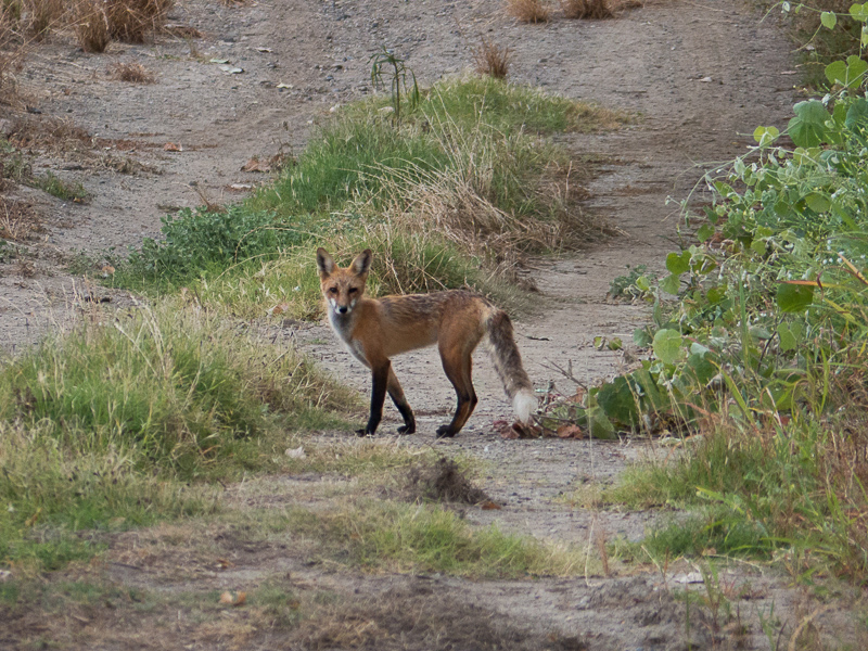 Sacramento_Valley_red_fox-2