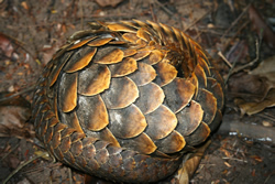Long-tailed-Pangolin-Rolled-Up