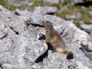 Alpine-Marmot