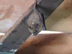 Bat Pantanal 2