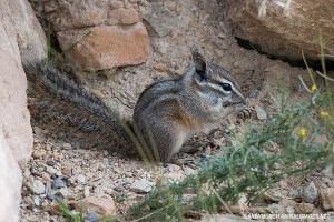cliff-chipmunk-002