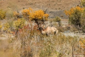 zzimg_0248-wild-camel