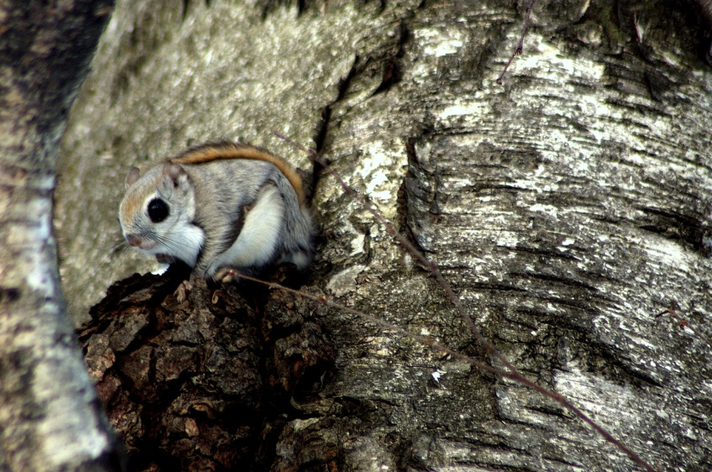 SiberianFlyingSquirrel-Japan