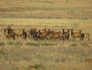 herd-of-tule-elk-carrizo-plain-2