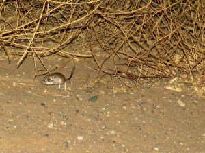 kangaroo-rat-carrizo-plain-1