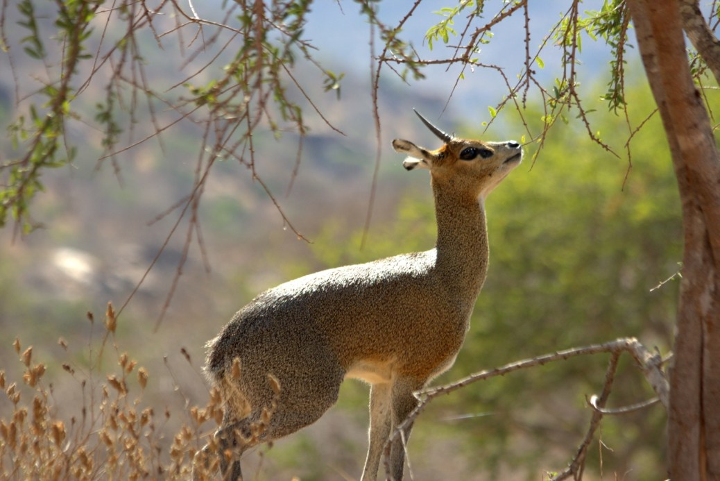Klipspringer-Kenya2