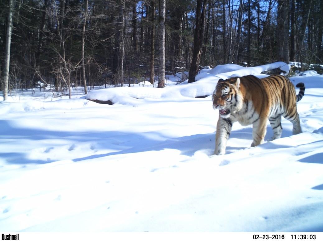 Tiger-Russia10