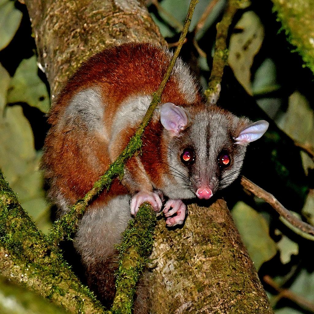 Nic-wooly-possum