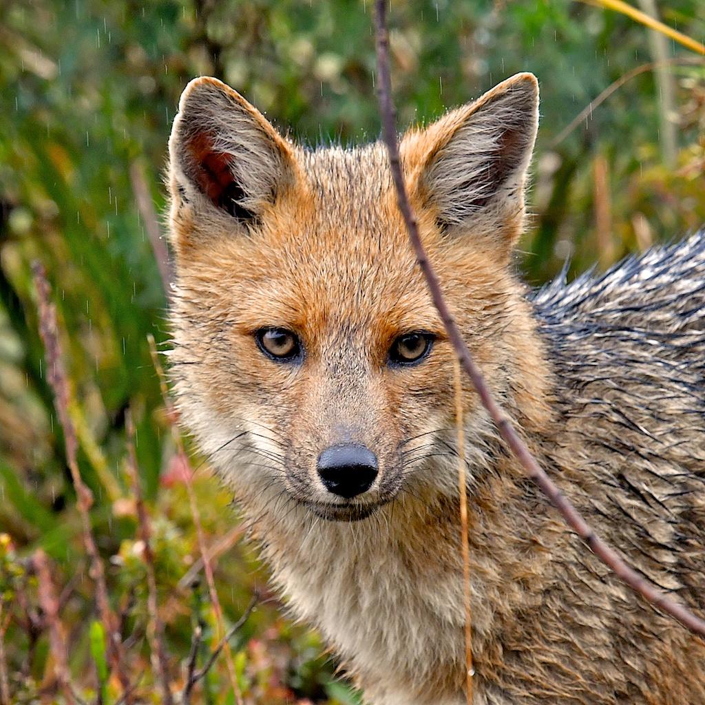 EC-square-fox