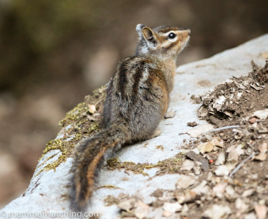 Image result for siskiyou chipmunk
