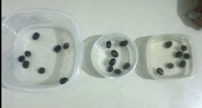 Lotus Seeds Prepared For Germination