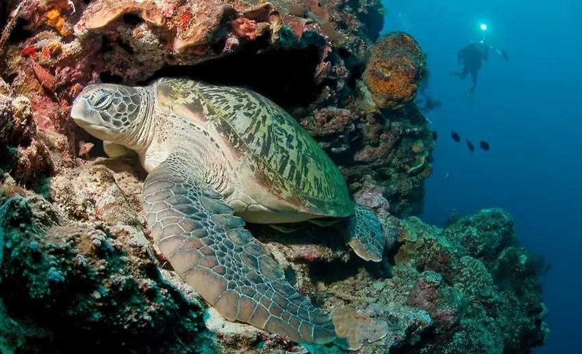 penyu hijau senang berada di underwater great walls bunaken yang tingginya mencapai 50 m