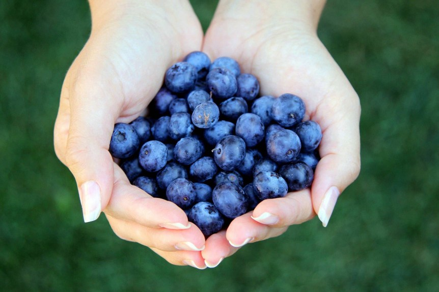 Blueberries in woman's hands. c) donatellasimeone. Via Fotolia