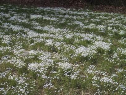 Bluets flowering in spring in the boat ramp lawn.