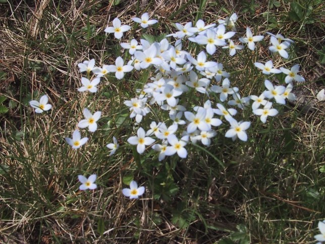 Bluets growing at the state boat ramp.