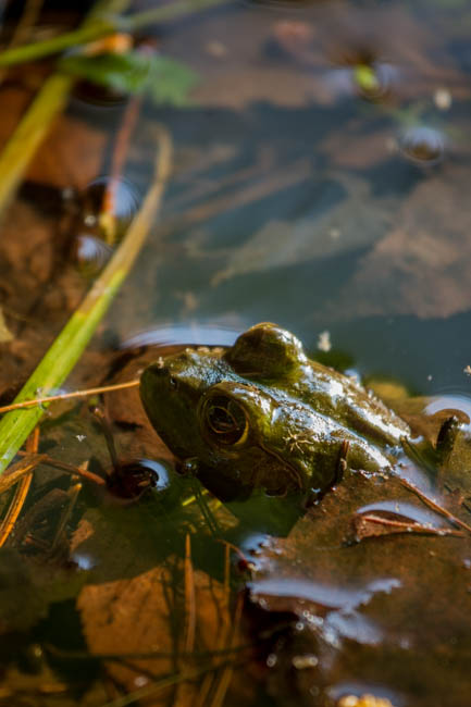 Stealthy frog