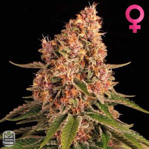 Barney's Farm – Pink Kush
