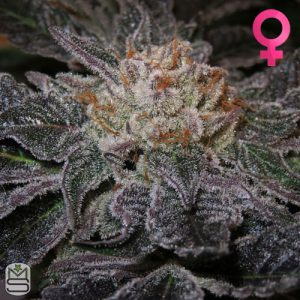 Trichome Jungle Seeds – Tropical Cherry
