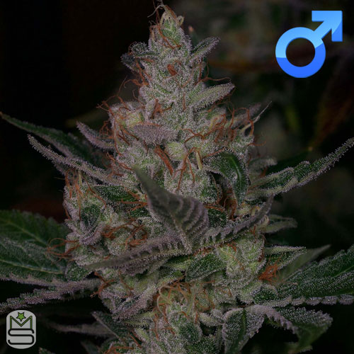 Archive Seed Bank – Sour Face