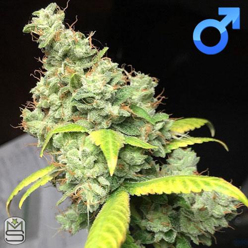 Dirty Water Organic Seeds - Sour Dubb Tre