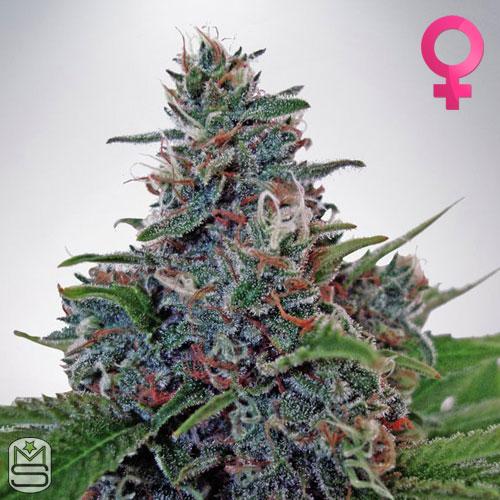 Ministry Of Cannabis - Auto Blue Amnesia