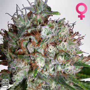 Ministry Of Cannabis – Big Bud XXL