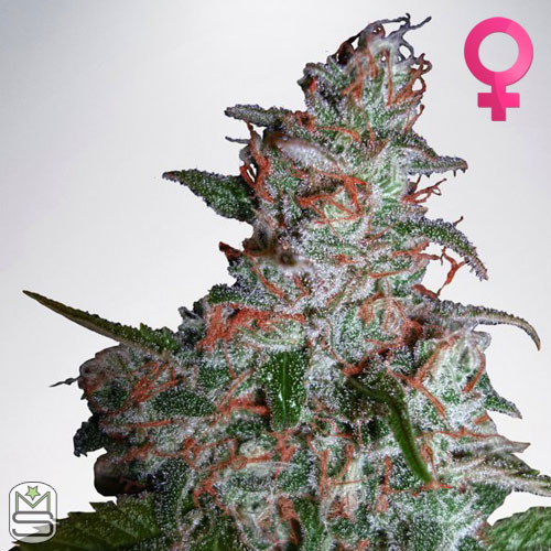 Ministry Of Cannabis - Northern Lights